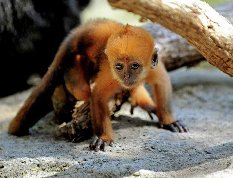 Keo-co, a bright orange male infant Francois leaf-eating monkey, the first to be raised by its mother in Australia, explores its enclosure at Sydney's Taronga Zoo.  Keo-co was born to mother 'Saigon' and father 'Hanoi' and was discovered cradled in its mother's arms in the early morning of January 30 by zoo keepers who had been monitoring the pregnancy of this unique birth of the highly endangered south-east Asian monkey. Photo: GREG WOOD, Getty Images / 2011 AFP