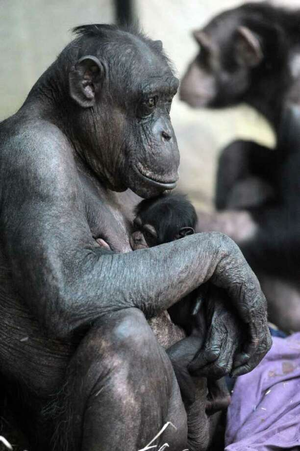 A six-day-old newborn Common Chimpanzee female (Pan troglodytes) clings to her mother Uschi at Bratislava Zoo. The young chimpanzee is the first to be born in the ape house, which was opened on April 23, 2010, and is also the first chimpanzee born in Bratislava Zoo since 1990 when her mother Uschi delivered her first offspring, male Samko.  Photo: SAMUEL KUBANI, Getty Images / 2011 AFP