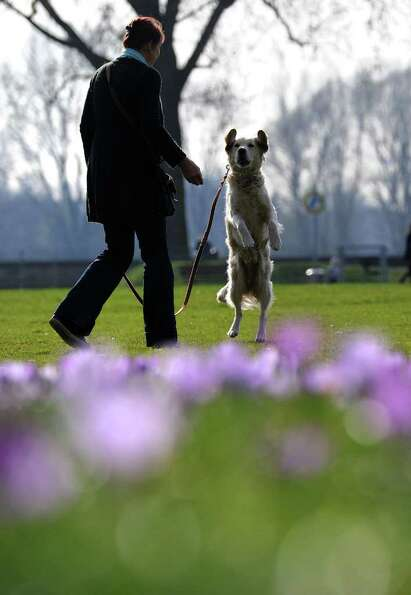 A woman walks her dog in a park where hundreds of crocus flowers bloom in the warm sunny weather in