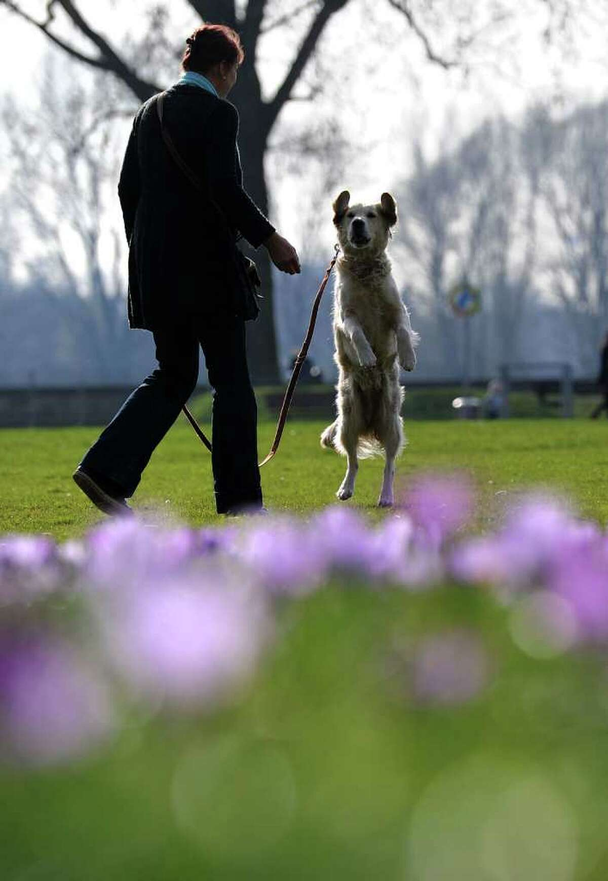 A woman walks her dog in a park where hundreds of crocus flowers bloom in the warm sunny weather in the western city of Duesseldorf as temperatures grew up to 15 degrees celsius on the first day of spring.