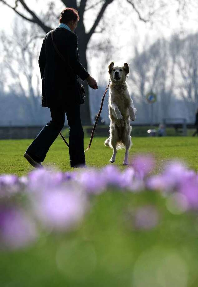 A woman walks her dog in a park where hundreds of crocus flowers bloom in the warm sunny weather in the western city of Duesseldorf as temperatures grew up to 15 degrees celsius on the first day of spring.  Photo: PATRIK STOLLARZ, Getty Images / 2011 AFP