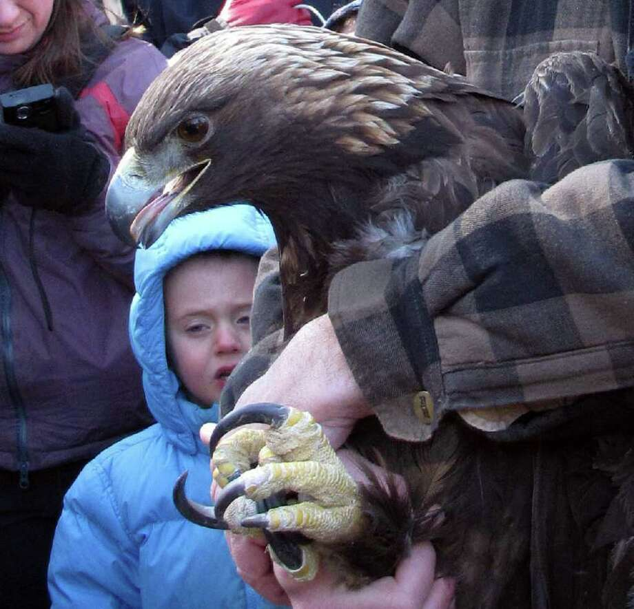 A golden eagle is about to be  released at Mohawk State Forest in Goshen Monday. Golden eagles - while thought of as birds of the American West - have establsihed themselves in the eastern United States and Canada as well. Photo: Contributed Photo/ Patrick Comins/ Audobun CT, Contributed Photo / The News-Times Contributed