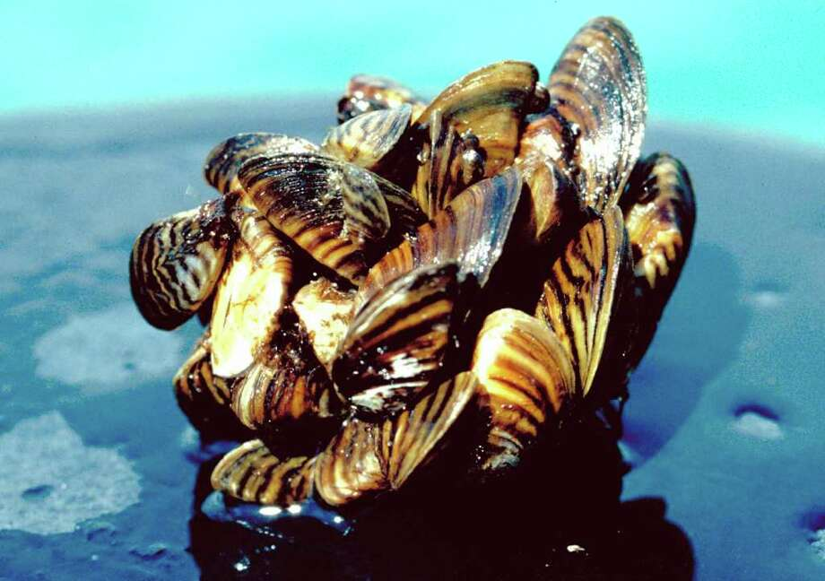 In a photo provided by the U.S. Department of Agriculture a group of Zebra Mussels taken from Lake Erie are seen in a recent file photo. Zebra mussels were first found in the United States in 1988 and have since forced power companies, water plants and industries across the Great Lakes and Mississippi River drainage basin to spend billions to remove them from pipes and other equipment. State biologists  in Virginia hope to eliminate the thumbnail-sized foreign invaders this month from a private quarry in Prince William County. (AP Photo/US Dept of Agriculture) Photo: Contributed Photo / The News-Times Contributed