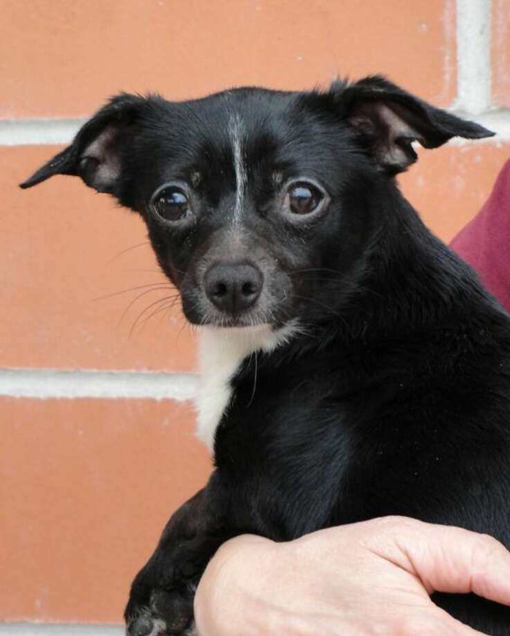Dolly, a 3-year-old Chihuahua mix, is available for adoption.