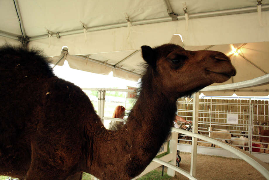 Animals at the South Texas State Fair (Teresa Mioli/ The Enterprise)
