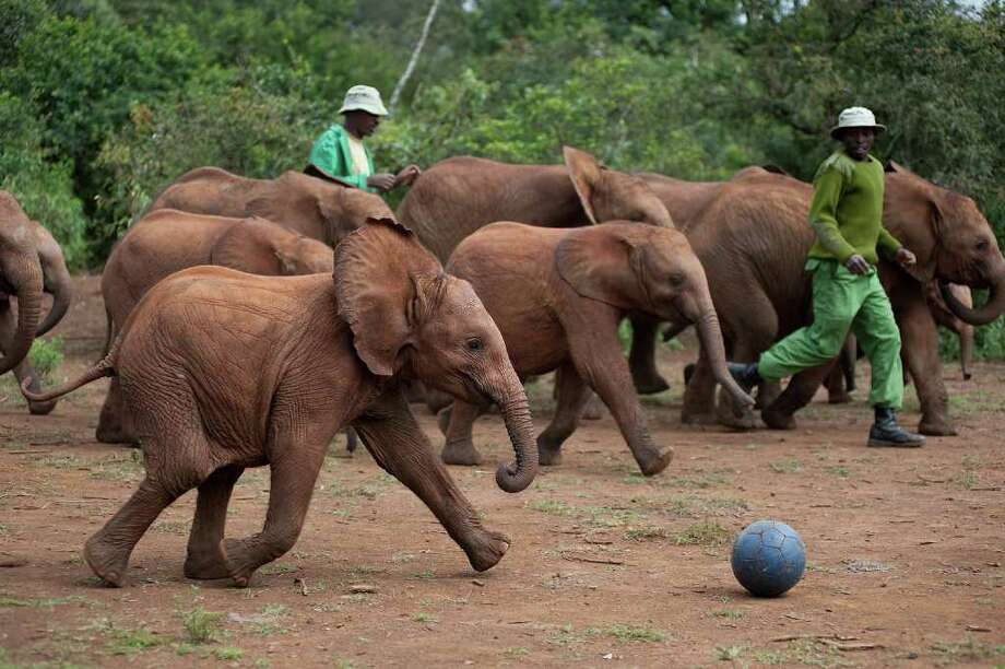 "Baby elephants at Dame Daphne Sheldrick's elephant orphange play soccer in a scene from ""Born to be Wild,"" which opens at the IMAX theater at the Maritime Aquarium April 8. Photo: Contributed Photo / Warner Bros. Entertainment;Drew Fellman, Contributed Photo / Norwalk Citizen"