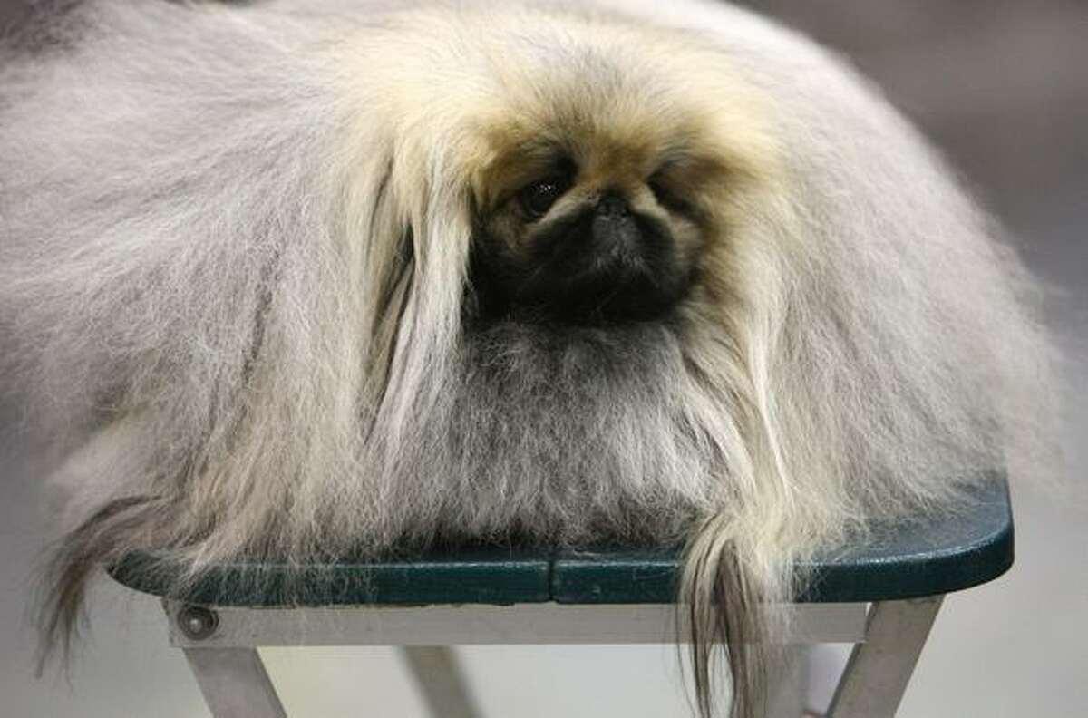 Arthur, a Pekingese, rests on a table during the Seattle Kennel Club Dog Show on Saturday, March 12, 2011 at the Qwest Field Events Center. The event continues through the weekend.