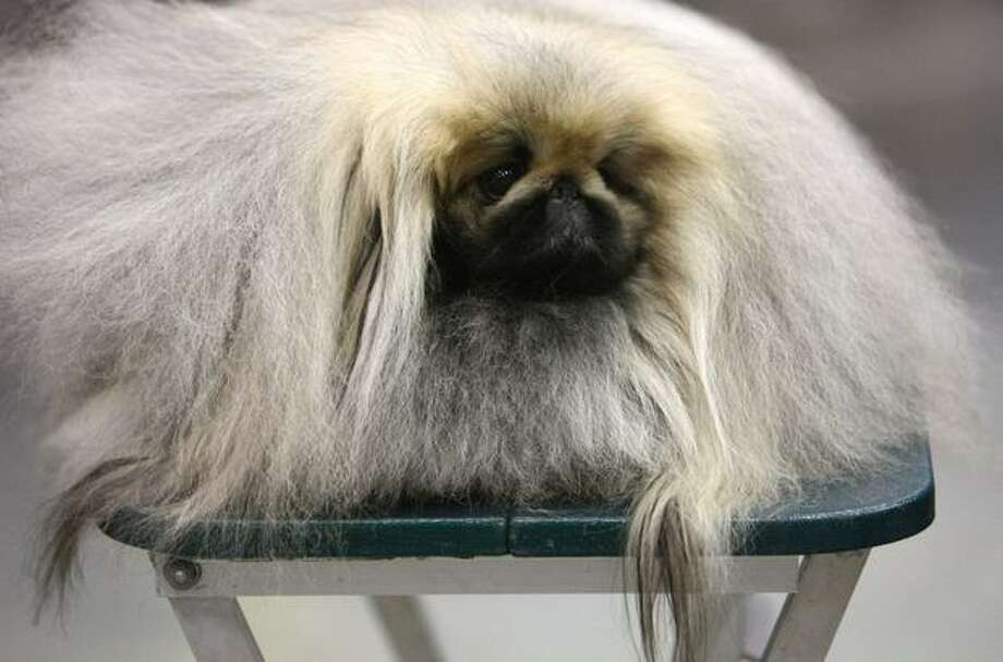 Arthur, a Pekingese, rests on a table during the Seattle Kennel Club Dog Show on Saturday, March 12, 2011 at the Qwest Field Events Center. The event continues through the weekend. Photo: Joshua Trujillo, Seattlepi.com / seattlepi.com