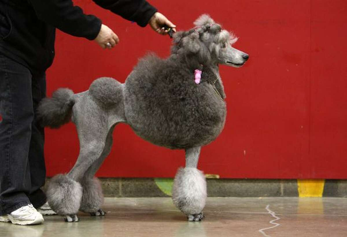 Sparkle, a Silver Standard Poodle, is shown during the Seattle Kennel Club Dog Show.