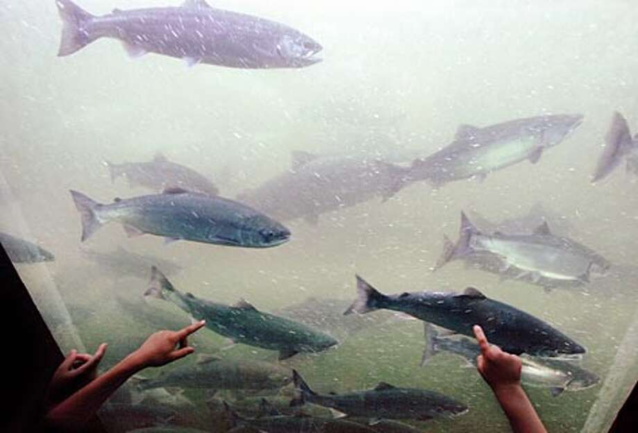 Children watch salmon migrate through the Ballard Locks. (Paul Joseph Brown / Seattle P-I file photo)