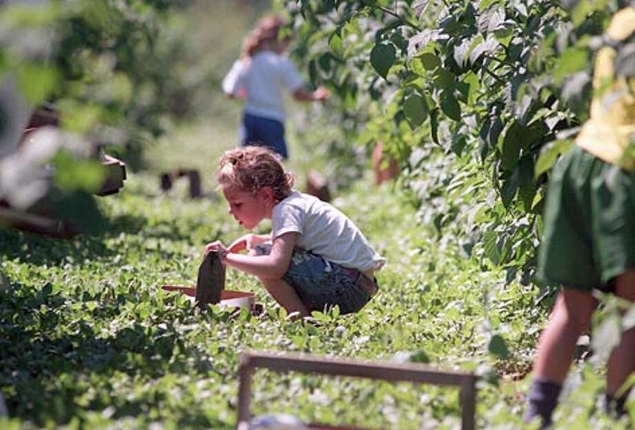 A young girl at Remlinger Farms in Carnation admires her basket of fresh picked raspberries while other family memberswork to fill their baskets. (Gilbert W. Arias / Seattle P-I)