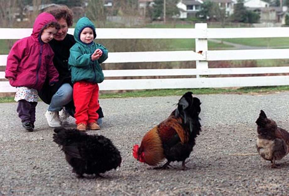 A mom introduces her children to the chickens and a rooster at the Kelsey Creek Park in Bellevue where kids and parents can interact with farm animals. (Loren Callahan / Seattle P-I)