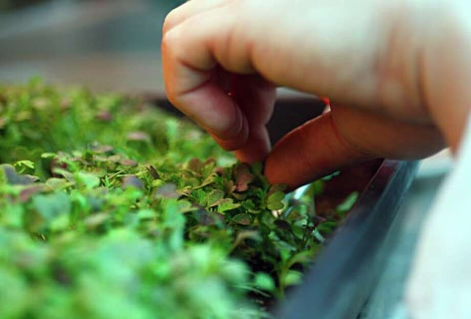 Chef Keith Luce snips fresh ruby streak microgreens to use in a dish at The Herbfarm in Woodinville, Wash. (Andy Rogers / Seattle P-I) / SEATTLE POST-INTELLIGENCER