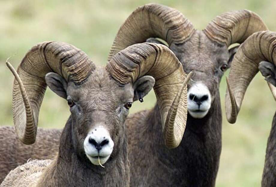 Three male bighorn sheep at Northwest Trek. (Dan Delong / Seattle P-I)