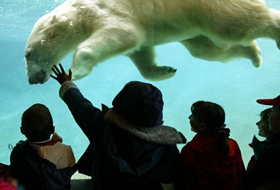 Blizzard, one of two polar bears, teases a group of students from St. Frances Cabrini school during a field trip at Point Defiance Zoo and Aquarium. (Scott Eklund / Seattle P-I)