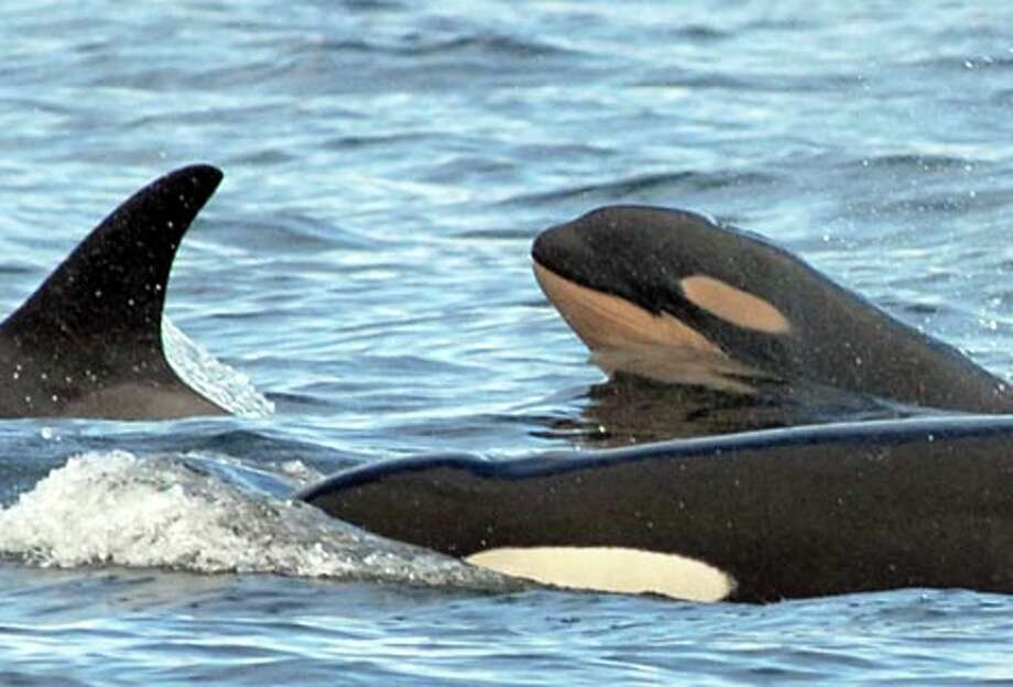 In this photo provided by the Center for Whale Research, a baby orca known as L-110, showing the common orange coloring of a baby whale, surfaces Sunday, Aug. 19, 2007 in Haro Strait, near San Juan Island, Wash. (Center for Whale Research, Dave Ellifrit)