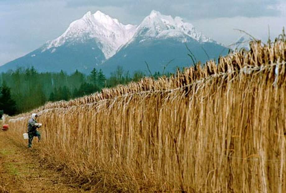 With snow-covered Canadian mountain peaks in the background, a worker ties rasberry canes in a farm near Bertrand Creek in Whatcom County. (Dan Delong / Seattle P-I)