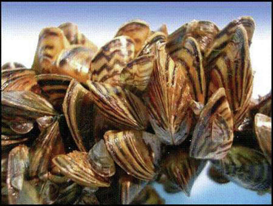 How to Stop Zebra Mussels