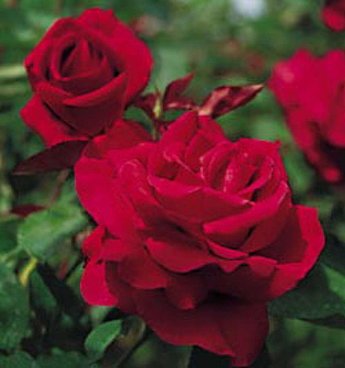 `Mister Lincoln' red rose