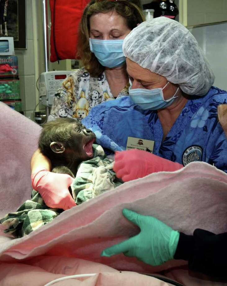 Senior veterniary tech Harmony Frazier holds a baby gorilla who was just waking up and yawning after surgery at the Seattle Zoo on January 10, 2008.  Behind her is vet tech Teri Harmann. The female baby gorilla was born Oct 20 at the zoo and had developed a growth on her spine.  Pediatric neurosurgeons from Children's Hospital  performed the surgery. (photo/Karen Ducey/The Seattle Post-Intelligencer) Photo: Karen Ducey, The Seattle Post Intelligencer