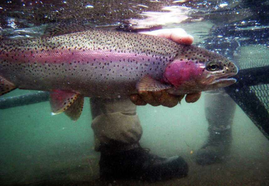 Underwater view of a Rainbow trout being released by fly-fishing guide Jack Mitchell on the Colum