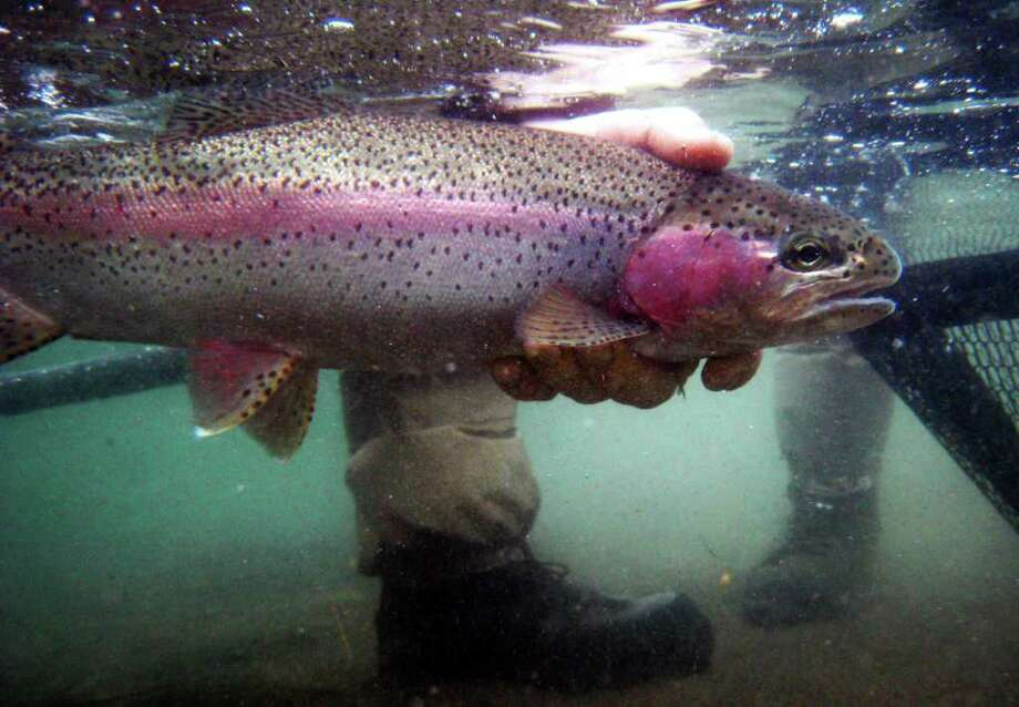 """Underwater view of a Rainbow trout being released by fly-fishing guide Jack Mitchell on the Columbia River near Northport, Wash., on Monday March 11, 2008Arias:This photo was made while shooting a feature on fly-fishing for giant rainbows on the upper Columbia. This was basically a """"Hail Mary"""" shot using a Canon point-and-shoot in an underwater housing. Photo: Gilbert W. Arias"""