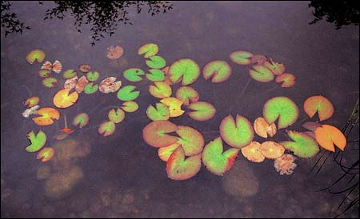 The sight of lily pads, which only grow in calm waters, evokes the tranquility of the Seattle Chinese Garden.(Josh Trujillo / seattlepi.com)