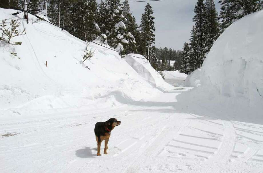 In this photo taken Monday, March 28, 2011. a dog wonders through a snow covered neighborhood near Soda Springs, Calif.  Near record snow in the Sierra has caused snow drifts to rise to nearly the top of power lines,  putting stress on roofs, and making it difficult to travel. Photo: AP