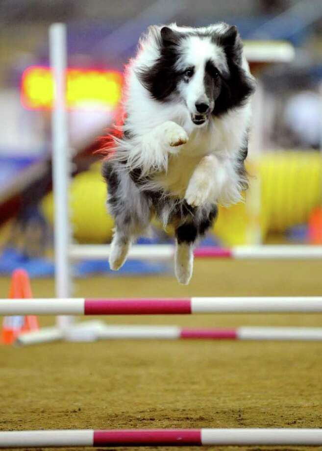 Marie Potts' sheltie named Twister runs the agility course at the 15th annual American Kennel Club National Agility Championship in Lexington, Va., Friday, April 1, 2011. The event drew more than 1,100 dogs to the Virginia Horse Center in Lexington for a weekend of competition. Photo: AP