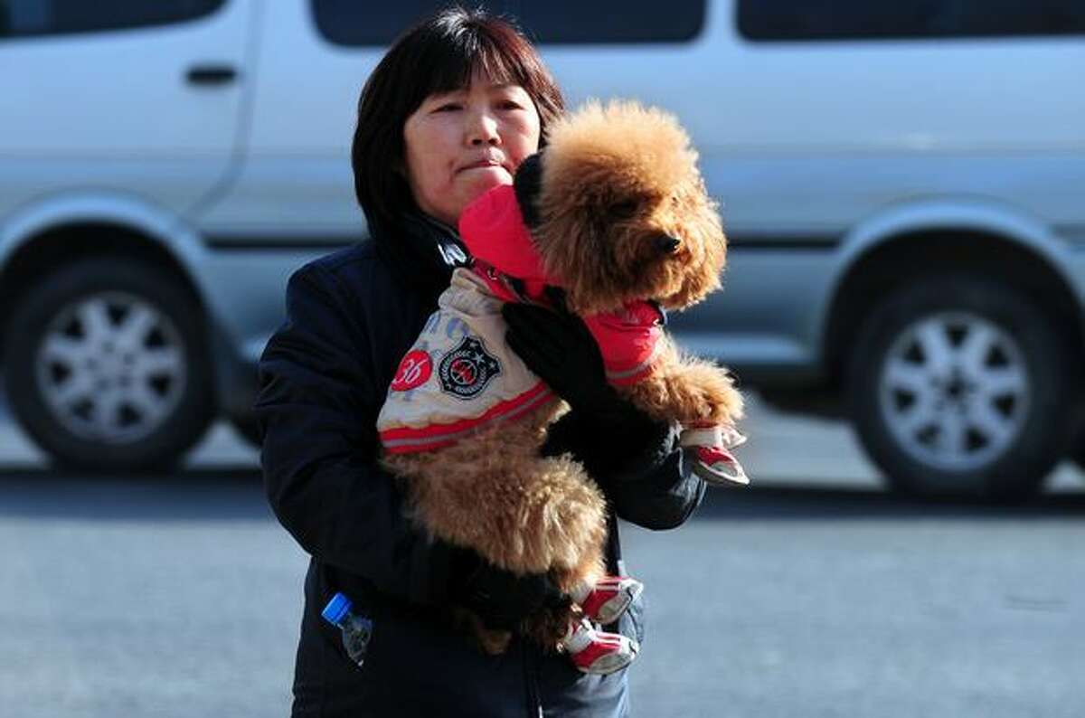Dressed with booties on its feet and a hooded sweatshirt for warmth, a poodle is carried across a road in Beijing by its owner on January 13, 2011. China's new ruling Communist party banned dog ownership in 1949, deeming it a