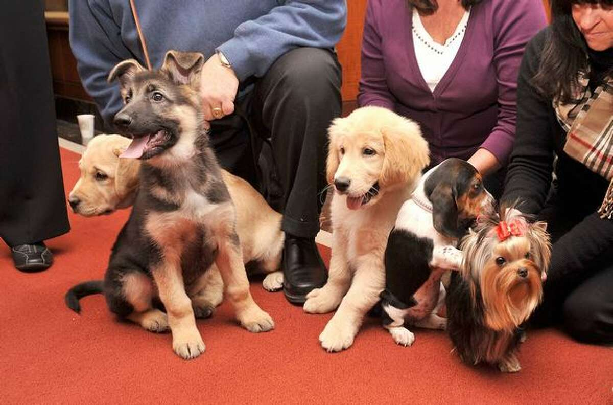A Labrador Retriever, German Shepherd, Golden Retriever, Beagle and Yorkshire Terrier seen at the American Kennel Club's announcement of the most popular dogs for 2010 on January 26, 2011 at the club's offices in New York City.
