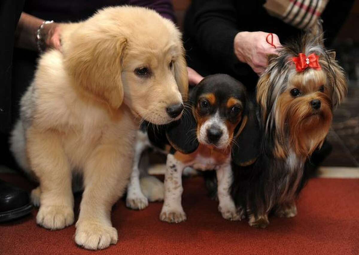 Rex the Golden Retriever (left) Tabitha the Beagle and Baby Gaga the Yorkshire terrier pose for the press during a news conference at the American Kennel Club January 26, 2011 to announce the top 10 most popular breeds in the United States. The Golden Retriever came in fifth, the Yorkie third and the Beagle fourth. The Labrador Retriever came in number one for the 20th consecutive year.