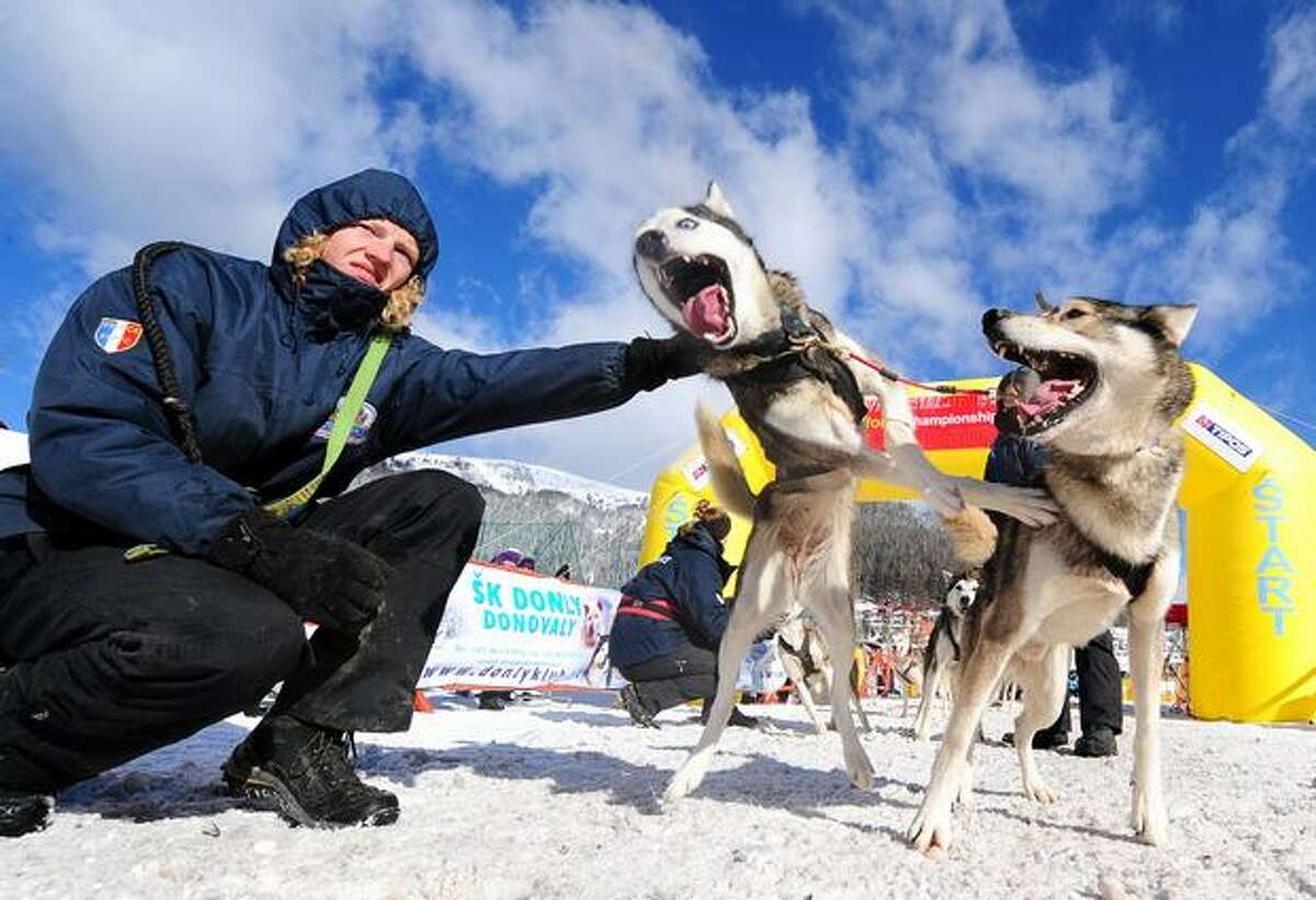Siberian Husky dogs belonging to the dog sleigh team of France's Michel Laboure get exited at the start of the second day of the Dog Sleigh racing World championships in Slovakia's Donovaly resort on February 12, 2011.