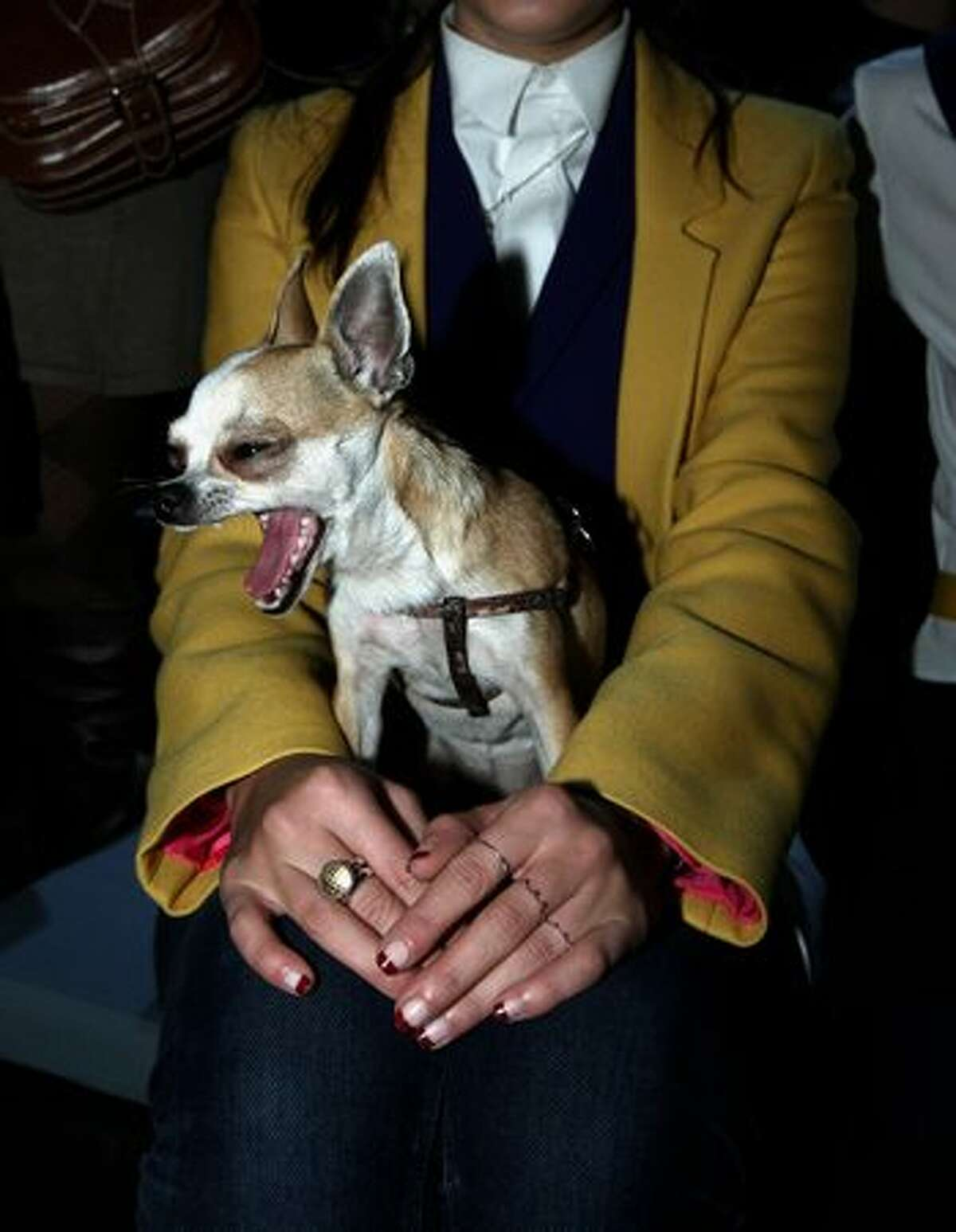 A dog at the Cibeles Fashion Week at Ifema on February 20, 2011 in Madrid, Spain.