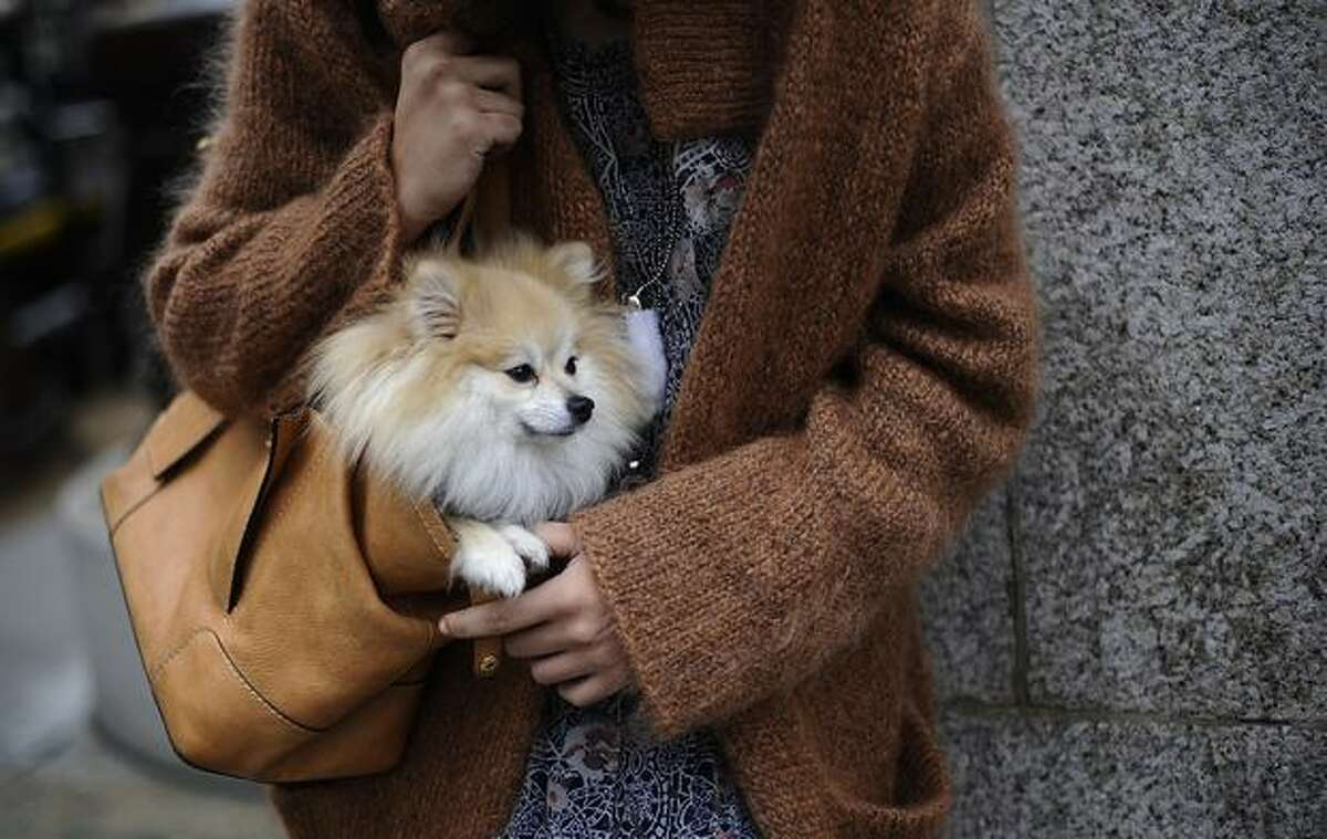 A member of the public carries a dog in a handbag as she waits near the venue of the Aquascutum Autumn/Winter 2011 collection show, on the fifth day of London Fashion Week in London, on February 22, 2011.