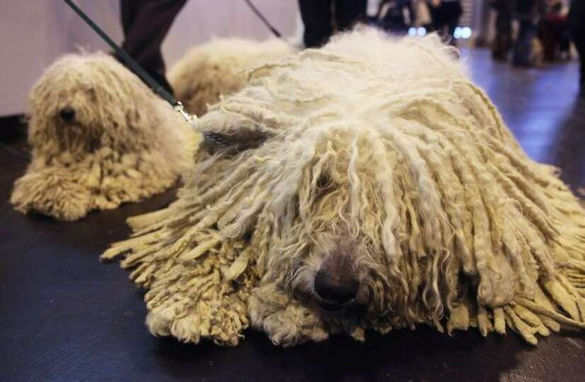 Komondor dogs relax before being judged on the second day of the annual Crufts dog show at the Natio