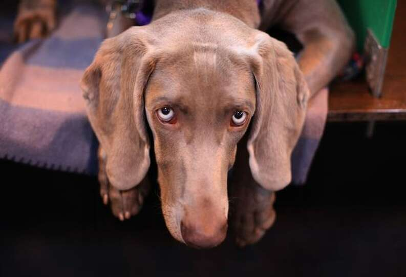 Oriel the Weimaraner waits for his turn in the parade ring on the first day of the annual Crufts dog