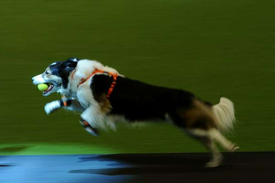 A Border Collie is pictured during a Fly Ball competition on the first day of the annual Crufts dog show at the National Exhibition Centre in Birmingham, central England, on March 10, 2011. Photo: Getty Images / Getty Images