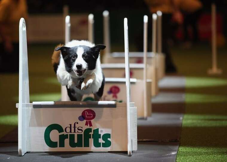 A dog takes part in the agility competition on the first day of the annual Crufts dog show for the G
