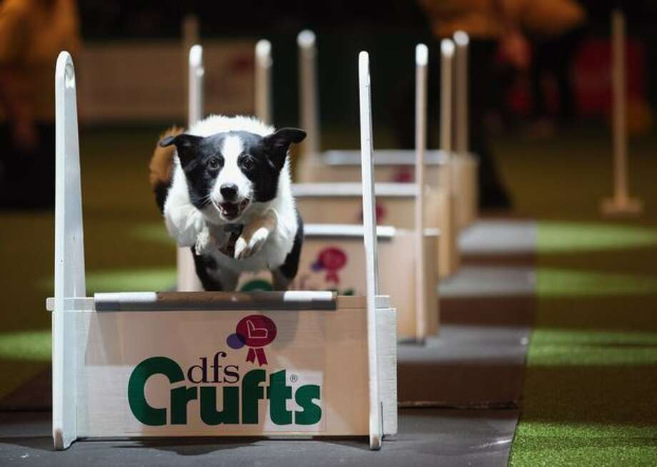 A dog takes part in the agility competition on the first day of the annual Crufts dog show for the Gun Dogs section at the National Exhibition Centre on March 10, 2011 in Birmingham, England. Photo: Getty Images / Getty Images