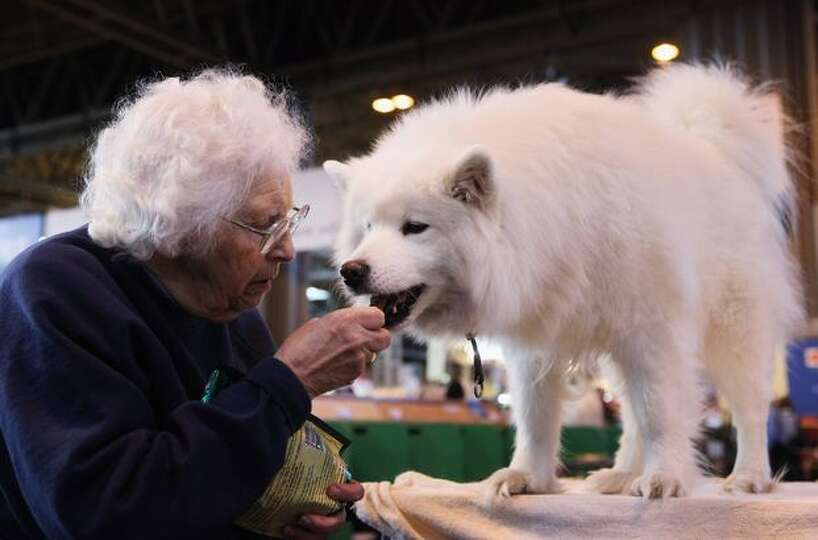 A woman feeds a Samoyed dog on the second day of the annual Crufts dog show at the National Exhibiti