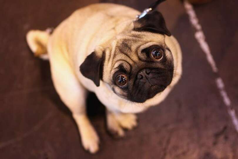 A pug dog stands in the exhibition hall on the final day of the annual Crufts dog show at the Nation