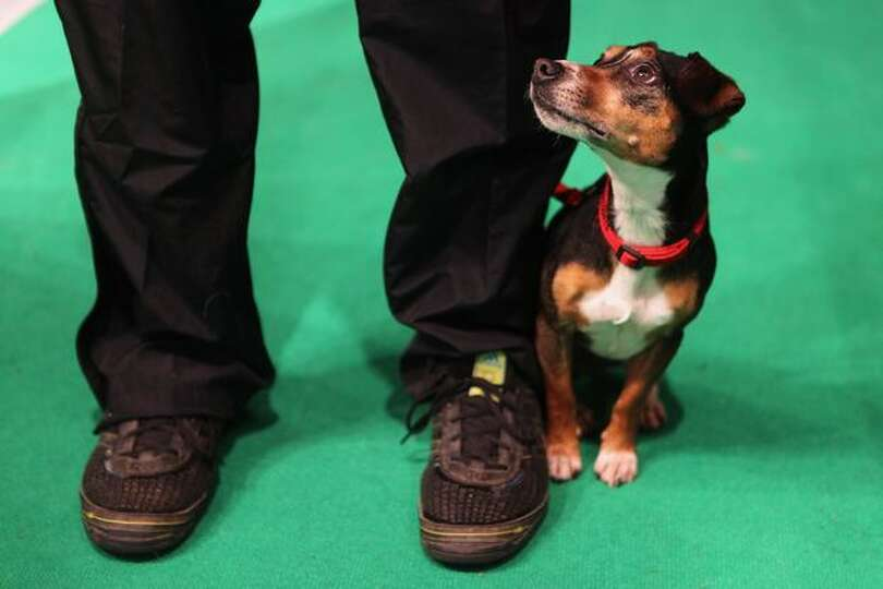 A dog stands with its handler before entering the main arena on the final day of the annual Crufts d