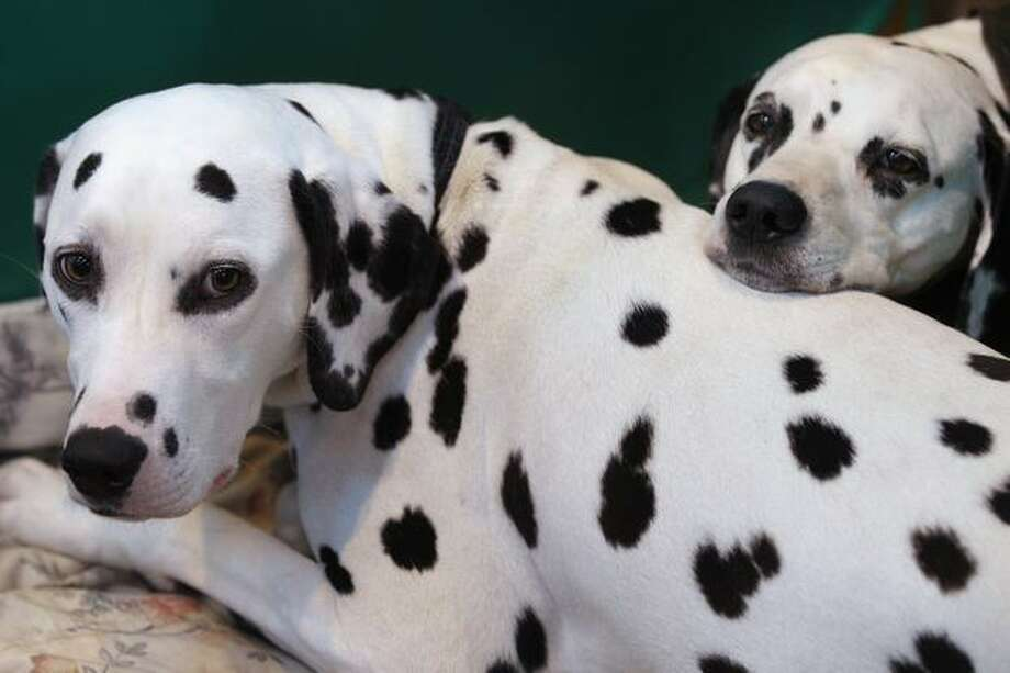 Two dalmatian dogs wait in their stall on the final day of the annual Crufts dog show at the National Exhibition Centre on March 13, 2011 in Birmingham, England. Photo: Getty Images / Getty Images