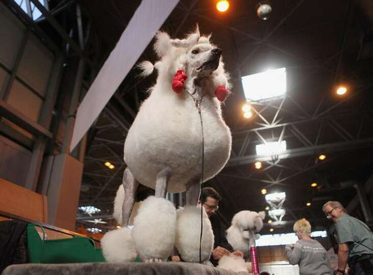 A poodle dog waits to be groomed on the final day of the annual Crufts dog show at the National Exhi