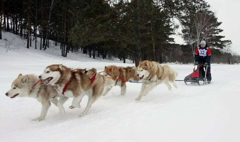 A Russian musher drives a team of Alaskan malamute sled dogs during a race outside of Kemerovo on March 19, 2011. Photo: Getty Images / Getty Images