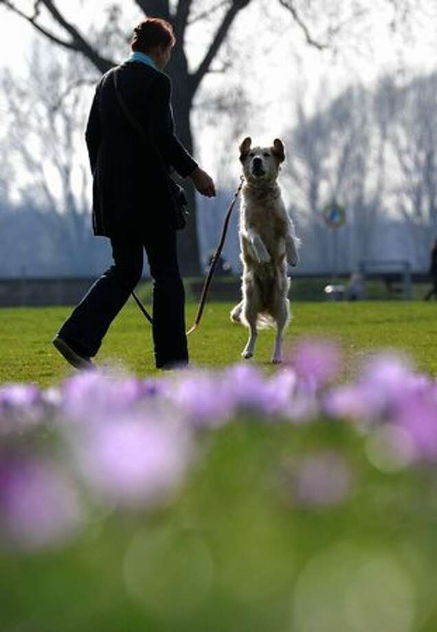 A woman walks her dog in a park where hundreds of crocus flowers bloom in the warm sunny weather in Duesseldorf, German on March 21, 2011. Photo: Getty Images / Getty Images