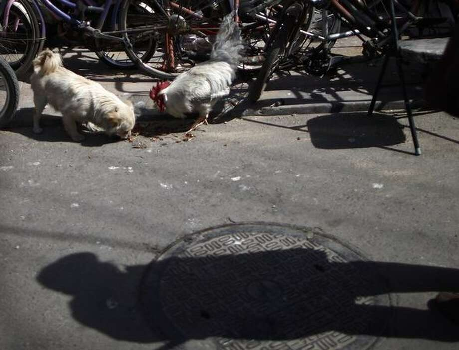 A stray dog and a chicken eat food together given by a lady along an alley in Beijing, China, Monday, March 21, 2011. (AP Photo/Andy Wong) Photo: Associated Press / Associated Press