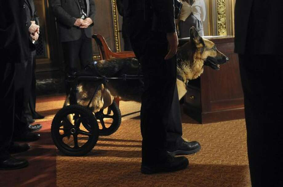Roseville, Minn., Police canine Major watches Minnesota Gov. Mark Dayton sign a bill enacting stiffer penalties for people who harm or kill public safety animals on Tuesday, March 22, 2011 at the state capitol in St. Paul, Minn. Major was stabbed four times by a suspect in a November 2010 burglary. (AP Photo/Pioneer Press, Chris Polydoroff) Photo: Associated Press / Associated Press