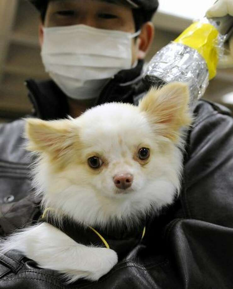 A little dog is screened for radiation exposure at Koriyama, northeastern Japan, Saturday, March 19, 2011 following last week's massive earthquake and resulting tsunami. (AP Photo/Kyodo News) Photo: Associated Press / Associated Press